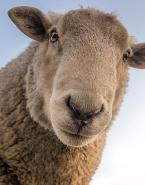 sheep looking down